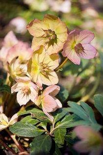 Helleborre pink flowering poisonus plant by Arletta Cwalina