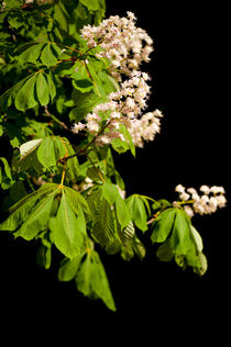 blooming Aesculus tree on black von Arletta Cwalina