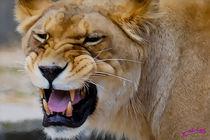 Lion VII von Carlos Segui