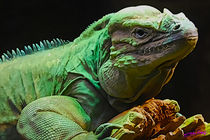 Rhinoceros Iguana by Carlos Segui