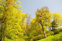 Green spring trees foliage by Arletta Cwalina