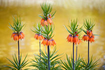 Orange lily flowers Fritillaria imperialis by Arletta Cwalina