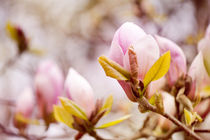 Magnolia beauty flowering in spring by Arletta Cwalina