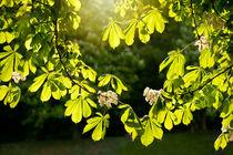 Flowering Aesculus horse chestnut foliage by Arletta Cwalina
