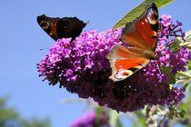Schmetterlinge von Robert Barion