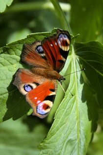 Schmetterling von Robert Barion
