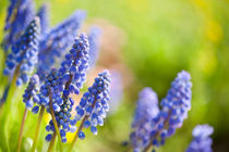 Blue Muscari Mill flowers by Arletta Cwalina