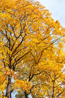 Yellow leaves autumn trees by Arletta Cwalina