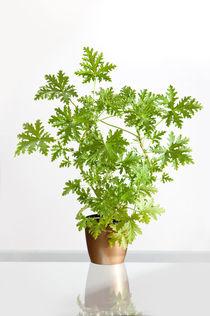 Pelargonium citrosum plant by Arletta Cwalina