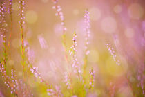 Subtle pink heather macro by Arletta Cwalina
