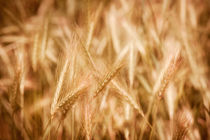 Golden ripe cereal ears grow von Arletta Cwalina