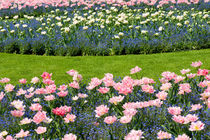 Pink Foxtrot tulips by Arletta Cwalina