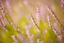 Soft focus of pink heather macro by Arletta Cwalina