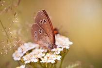 Ringlet brown butterfly sitting by Arletta Cwalina