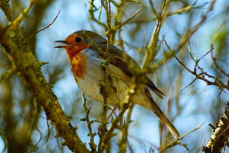 Rotkehlchen-singt