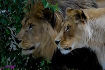 Lions  von Carlos Segui