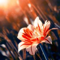 Blossom Flower von cinema4design