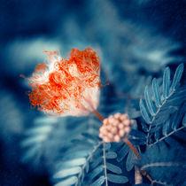 Acacia Flower von cinema4design