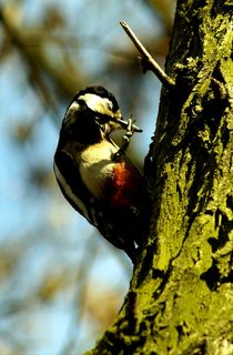 buntspecht II - 'nase' putzen - hatschi ;-) /  	great spotted woodpecker - blowing it's 'nose' - God bless you ;-) von mateart