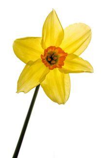 Daffodil  von Jeremy Sage
