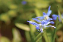 Blaustern von Premdharma S. Gartlgruber