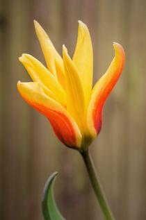 Tulip von Jeremy Sage