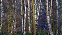 Birken im Moor von peter norden