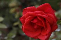 Rose von Robert Barion