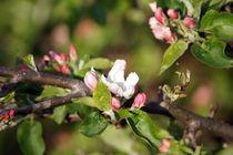 Apfelblüte, apple blossom von Sabine Radtke