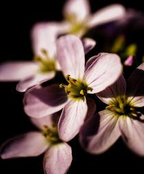 Frühlings Blume von noxfotografie