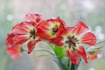 Tulpen vor dem Fenster von lisa-glueck