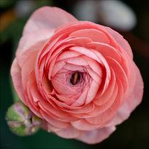 rosa Erblühen von lisa-glueck