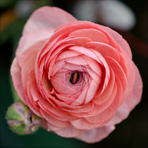 rosa Erblühen by lisa-glueck