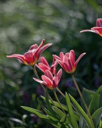 Tulpen im Wind von lisa-glueck