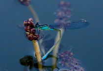Dragonfly on hydrophyte blossom von Thomas Matzl