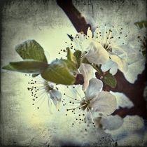 Pflaumenblüte 1 B von leddermann