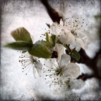 Pflaumenblüte 1 E von leddermann