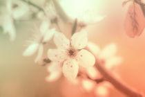 Zartes Pastell Blüten Makro von Tanja Riedel