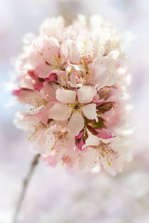 zarte Blütenpracht by Marcus Hennen