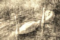 Vintage Swans von David Pyatt
