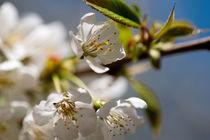 Kirschblüte im April von Premdharma S. Gartlgruber