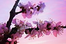 Blossoms at Sunset by Clare Bevan