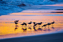 Sandpipers in a golden pool of light on the beach von Sharon Foelz