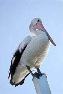 The watching Pelican by bentastic-photography