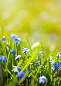 Scilla siberica flowerets von Arletta Cwalina
