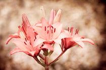 Flowering Lilium sepia Lily von Arletta Cwalina
