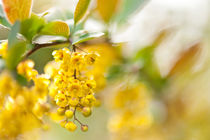 Berberis yellow flowering shrub by Arletta Cwalina