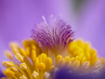 Pasqueflower  by brava64