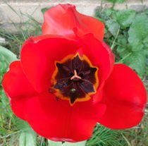 Singular red tulip by Amanda Elizabeth  Sullivan
