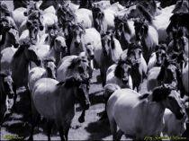 Dülmener Pferde Herde von Sandra  Vollmann